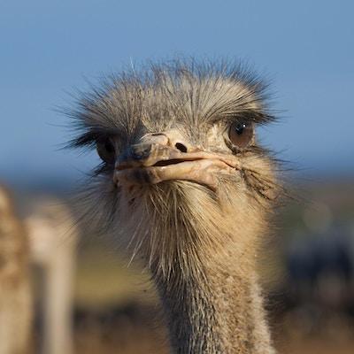 Struts i Oudtshoorn, Sør-Afrika