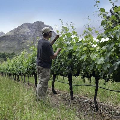 En mann sjekker avlingen i Stellenbosch vinlandsregioner nær Cape Town.