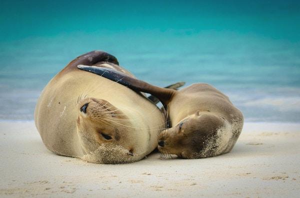 Sjøløver på Galapagos.