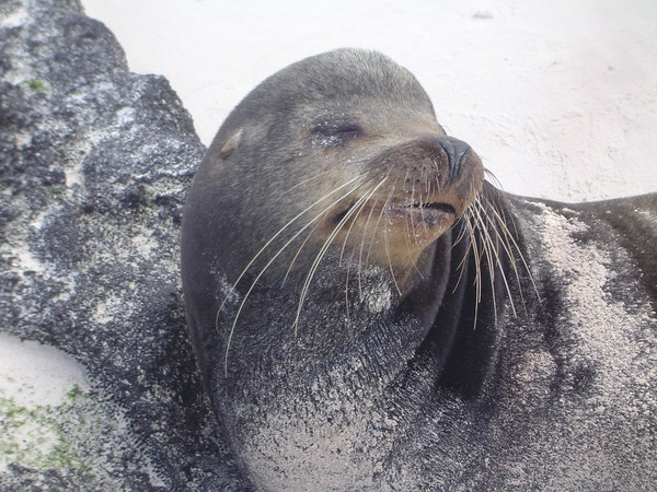 Sjøløve på Galápagos.