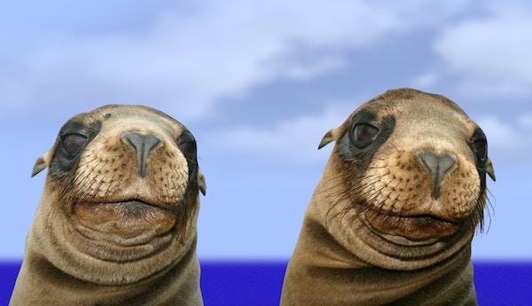 To sjøløver på Galapagos.