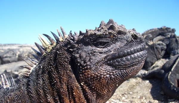 Iguana på stranden på Galapagos.
