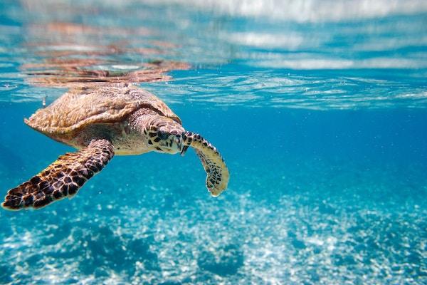 Skilpadde under under vann på Seychellene.