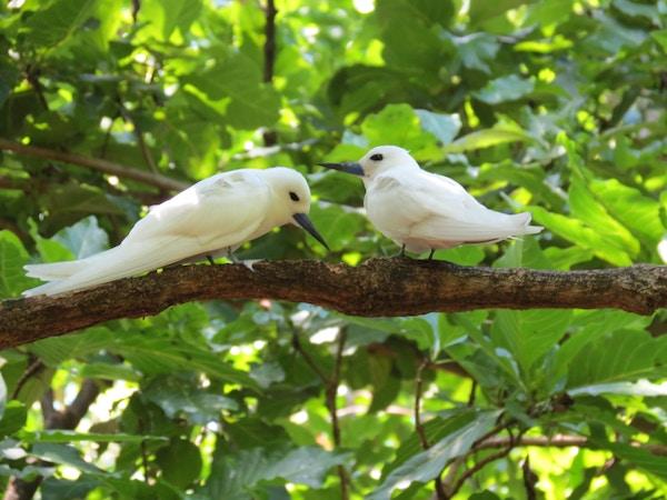 Fugler på Seychellene.