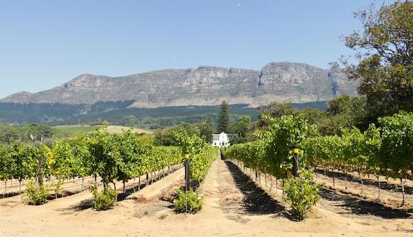 Vingård i Sør-Afrika med fjell i bakgrunnen. .