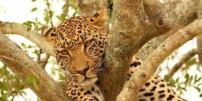 Leopard i et tre i Sør-Afrika.