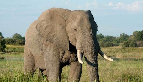 Safari i Afrika.