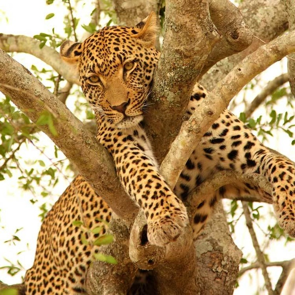 Gepard i Afrika.