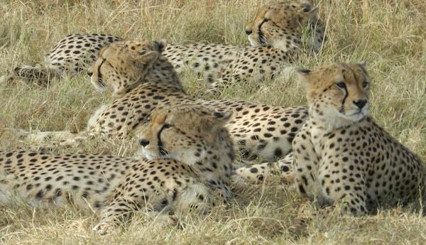 Geparder i Afrika.