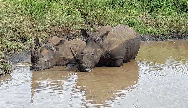 Neshorn i Afrika.