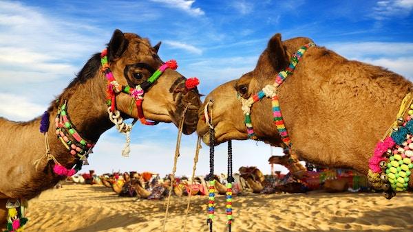 Kameler i India.