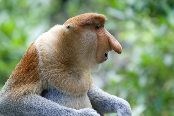 Ape i Nasjonalparken Similajau