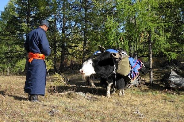 Jakokse i Mongolia.