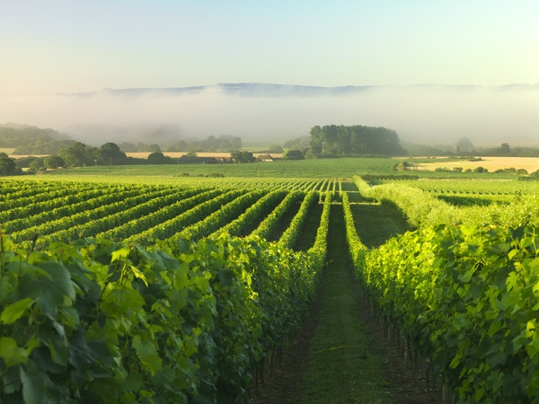 Vineyards 4