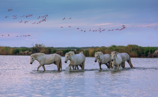 Hvite hester og flamingoer i Camargue.