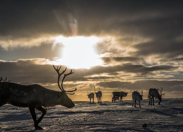 Reinsdyr i solnedgang på Finnmarksvidda.