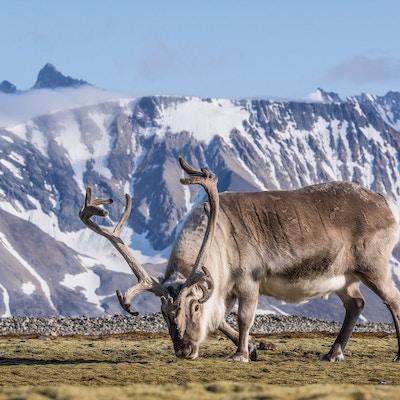 Svalbard reinsdyr