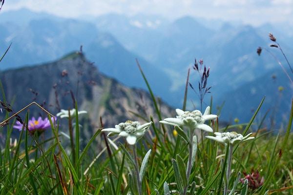 Edelweiss-blomsten med fjell i bakgrunnen.