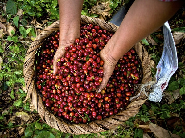 Kaffebønner i Costa Rica.
