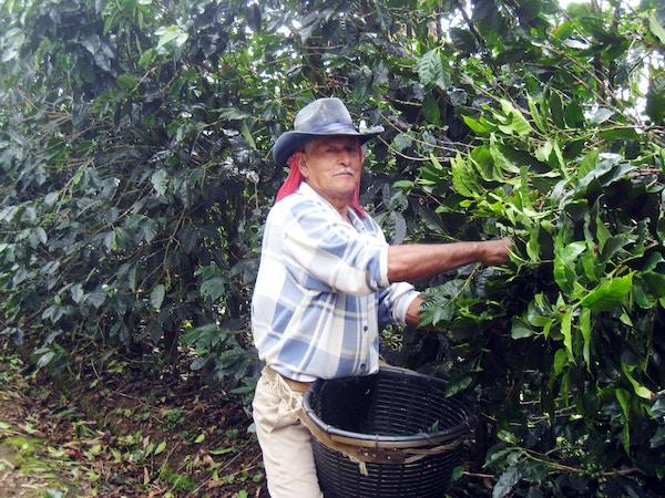 Mann plukker kaffebønner i Costa Rica.