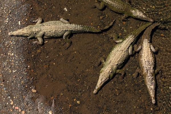 Krokodiller i Costa Rica.