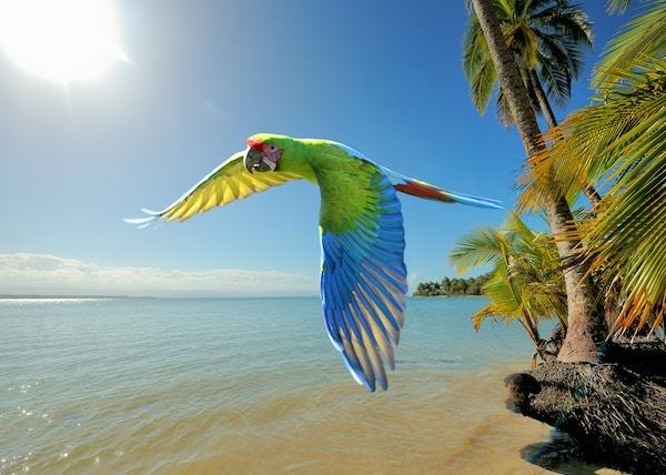 Papegøye ved strand på Costa Rica.
