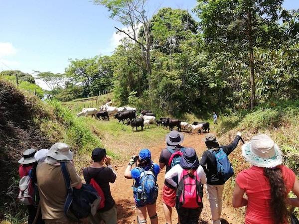 Turister på fottur i Costa Rica tar bilder av kuer.