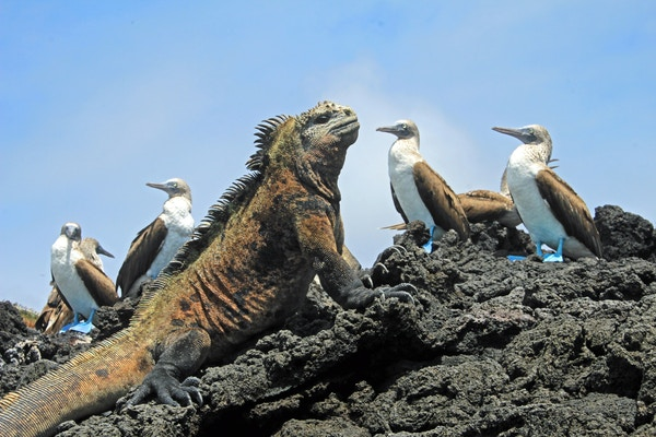 Iguaner på Galapagos.