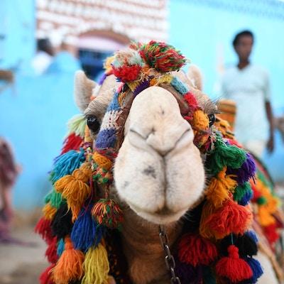 Egypt kamel