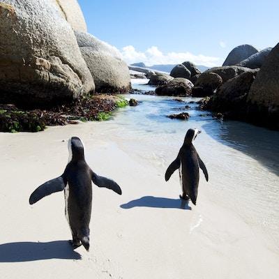 Boulders beach pingvin