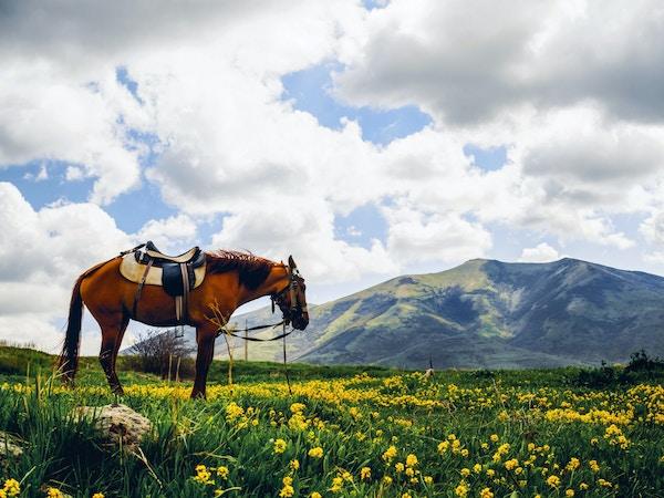 Armenia hest