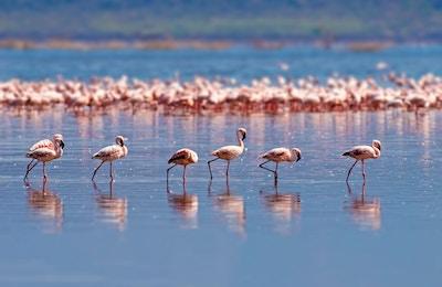 Flamingoer i Camargue